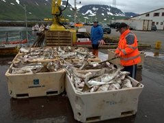 This massive catch is from one boat! There were dozens of fishing vessels in the Suðureyri harbor...we can only imagine what their combined haul looks like