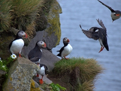 We spent hours laughing at the antics of the  Látrabjarg puffins