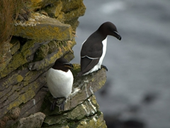 "A pair of razorbills (members of the auk family). Their French name is ""petit pinguoin"" because they look like penguins; Látrabjarg"