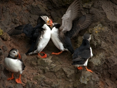 Puffins fighting over territory. Notice one of them has the other's beak firmly grasped within its own