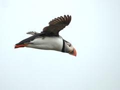 Puffin flying overhead