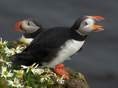 Not sure if he is yawning or bellowing...either way, we were mesmerized by the puffins of Látrabjarg