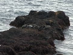Below the Látrabjarg cliffs, some seals snooze the day away