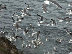 Seagull frenzy in Stykkishólmur
