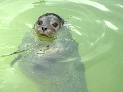 A curious seal checks us out; Reykjavik Zoo