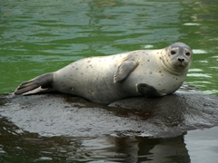 Seal sunning itself; Reykjavik Zoo