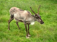 A reindeer cautiously eyeballs us; Reykjavik Zoo