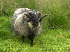 We saw several curly horned sheep in the wild. This one at the Reykjavik Zoo was really friendly and loved a good pat down