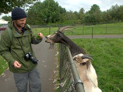 An Icelandic goat reaches over the fence for some food; Reykjavik Zoo