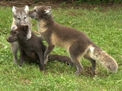 Playful arctic foxes