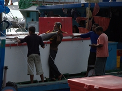 Maldivian fishermen hauling out a tuna from their fishing boat storage hold; Malé