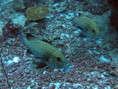 Spotted sweetlips fish at Lankan Faru Manta Ray Point, North Male Atoll