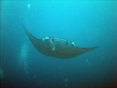The Lankan Faru Manta Ray Point lived up to its name as we saw a manta ray gliding by, North Male Atoll