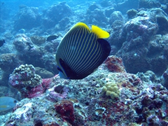 An Emperor Angelfish at Lankan Faru Manta Ray Point, North Male Atoll