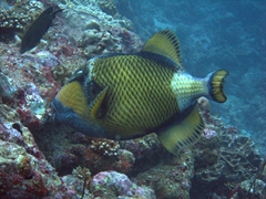 A powerful Titan Triggerfish. Note: Female titans are extremely territorial during reproduction season, and are prone to attack if they perceive you as a threat to their nests; Lankan Faru Manta Ray Point, North Male Atoll