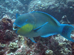A parrot fish takes a break from munching on algae on coral; Lankan Faru Manta Ray Point, North Male Atoll