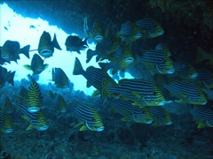 A school of Oriental Sweet Lips huddle in a passageway; Omadhoo Thila, South Ari Atoll