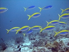 This school of neon yellow and blue fish caught our attention; Vilamandoo Thila, South Ari Atoll