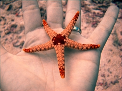 Becky holds up a star fish; Vilamandoo Thila, South Ari Atoll