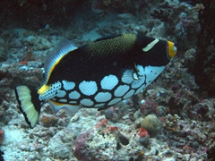 Clown triggerfish; Vilamandoo Thila, South Ari Atoll
