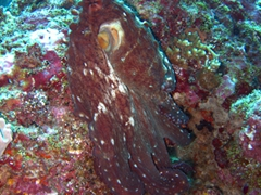 After a moment's hesitation, this octopus finally emerged from its hiding spot; Holiday Beru Long Reef, South Ari Atoll
