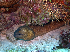 A beautiful speckled moray eel curiously peers out at us; Holiday Beru Long Reef, South Ari Atoll