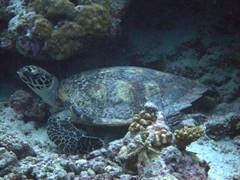 Imbricated turtle; Ari Beach Beeru, South Ari Atoll