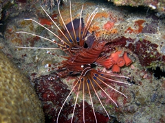 A brilliant display of a lion fish; Ari Beach Beeru, South Ari Atoll