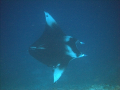 A manta soars past us (notice the damage to its closest wing? Probably a shark attack survivor); Ari Beach Beeru, South Ari Atoll