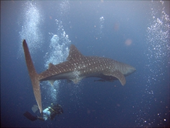 Our parting view of the most magnificent creature in the underwater world; Ari Beach Beeru, South Ari Atoll
