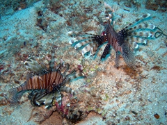 Two dueling lion fish about to battle; Kudhima Wreck, South Ari Atoll