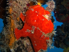 A bright red frog fish doesn't blend into its surrounds at Kudhima Wreck