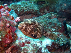 This puffer fish didn't mind our presence at all; Angaga Thila, South Ari Atoll