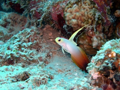 A red fire goby darts among the coral; Angaga Thila, South Ari Atoll