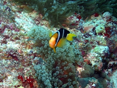 An anemonefish protects its home; Angaga Thila, South Ari Atoll