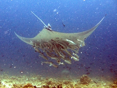 Another view of the manta ray and its contingent of remoras; Angaga Thila, South Ari Atoll