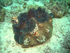 Its hard to get perspective on how large this giant clam was; Angaga Thila, South Ari Atoll