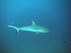 There were loads of white tip reef sharks gliding in the distance; Dhigaa Thila, South Ari Atoll