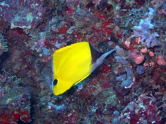 A long nosed butterfly fish; Dhigaa Thila, South Ari Atoll