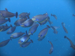 A swarm of bignose unicorn fish aggressively chased our bubbles in the quest for food; Kuburu Thila, North Ari Atoll