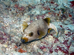 White spotted puffer fish; Kuburu Thila, North Ari Atoll