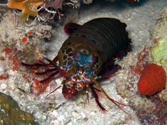 Mantis Shrimp, Kuburu Thila, North Ari Atoll