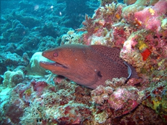 A moray eel looks for its next meal, Kuburu Thila, North Ari Atoll