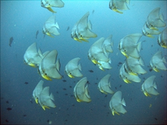 A school of bat fish swimming in formation; Hafusa Thila, North Ari Atoll