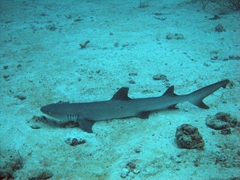 A white tip reef shark resting at the bottom of the ocean floor; Hafusa Thila