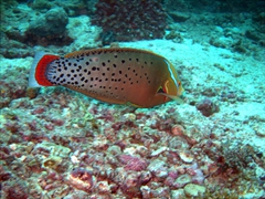 We enjoyed diving at the Hafusa Thila pinnacle, which had a wide variety of marine life to admire
