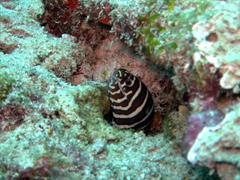 A banded eel peers curiously at us; Hafusa Thila