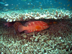 Coral rock cod (also known as coral grouper) nestled within some coral; Hafusa Thila