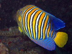 View of a Regal Angelfish; Hafusa Thila
