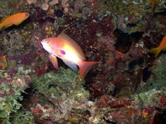 Another pretty fish at the Hafusa Thila dive site